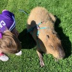 Girl playing with a Capybara in the park